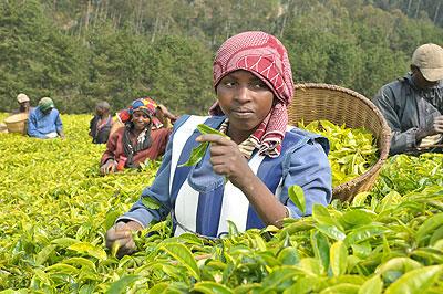 Smallholder Tea farmers To lose in proposed Crop regulations