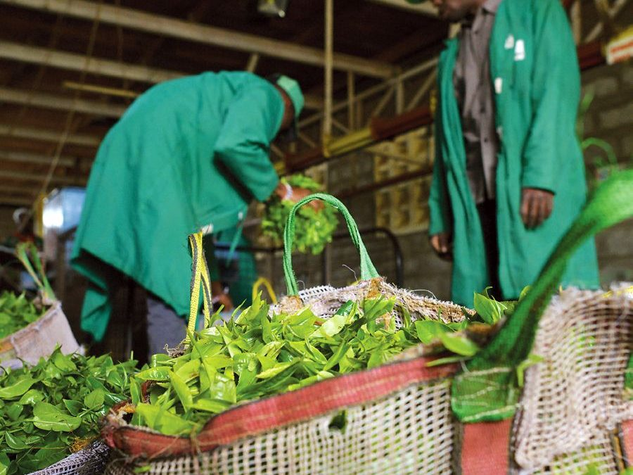 KTDA annual production in record high amid reduced global prices