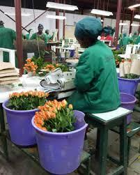 Flower farm  workers receive  Ksh 8M in food rations
